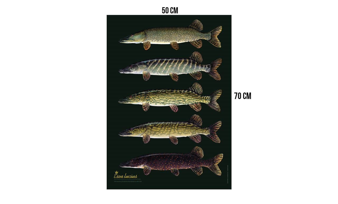 Picture of Sakke Yrjölä Poster 50 x 70 cm - Pike Variation